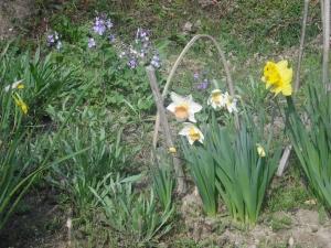 180329水仙と紫花菜