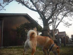 180330記念碑の桜とサブ