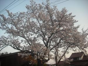 180330記念碑の桜満開