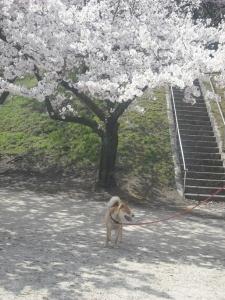 180331サブと満開の桜