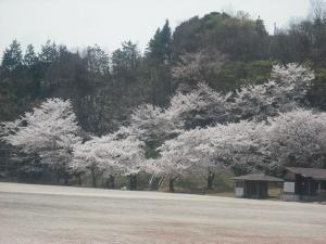 180331運動公園の桜満開1