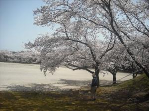 180331公園のサブと桜1