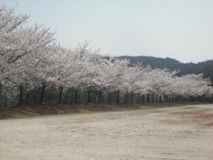 180331運動公園の桜満開2