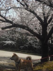 180331満開の桜とサブ
