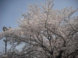 180331桜満開