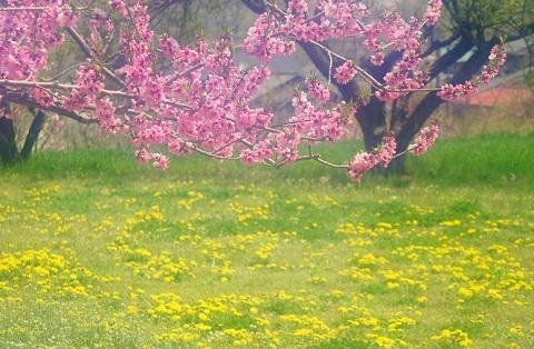 180301 桃色黄色の花