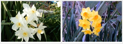 お散歩に見た水仙の花