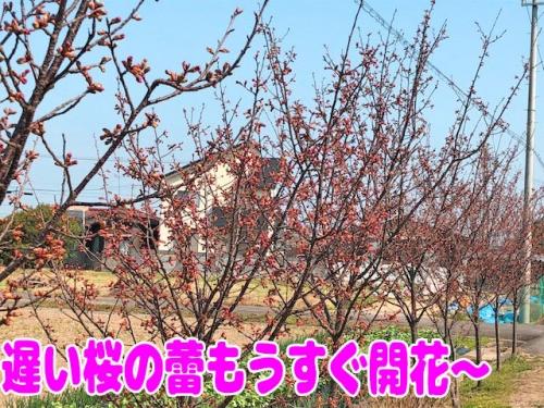 遅い桜も咲きそう