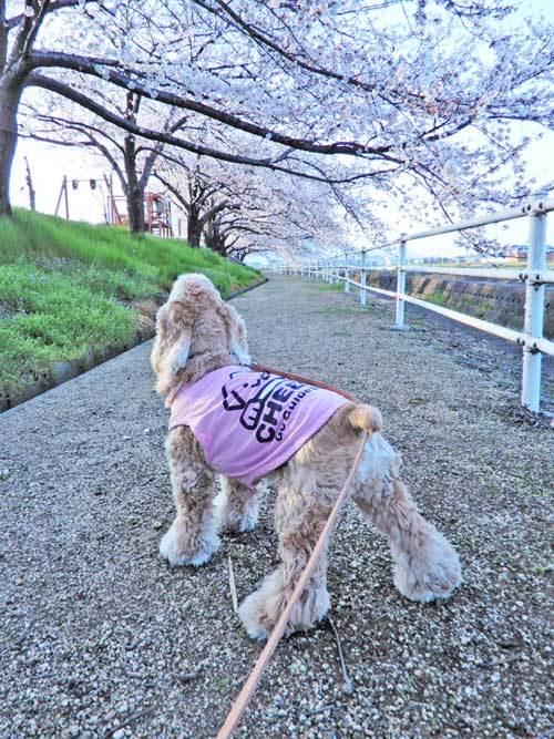桜のトンネル1