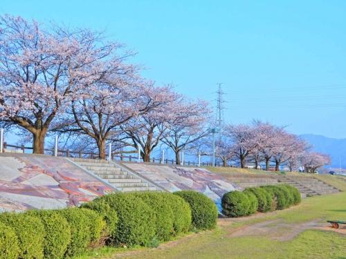 水辺の公園桜
