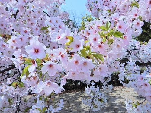 桜の花の下で