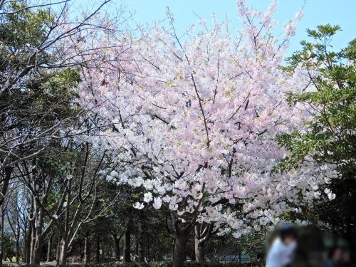 綺麗な桜が