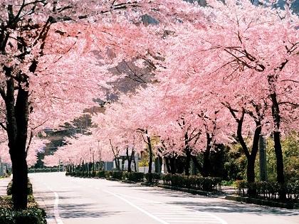 119928gotenbasakura_junkansen01.jpg