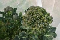 BL180313「菜の花」収穫3IMG_1501