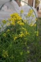 BL180313「菜の花」収穫5IMG_1488