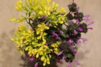 BL180313「菜の花」収穫6IMG_1521