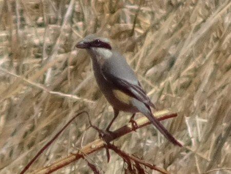 調節池の鳥