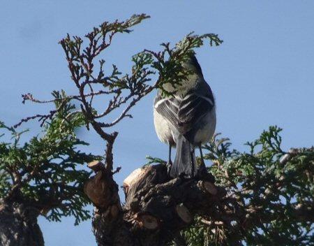 チャボヒバ野鳥s