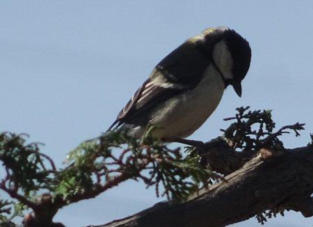 チャボヒバに野鳥が