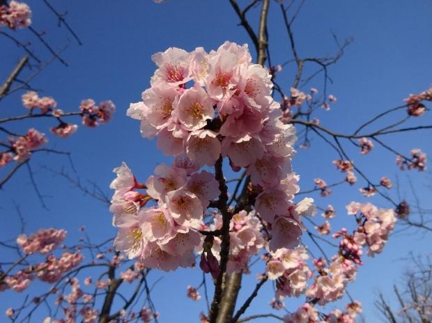 春の花@元郷 (3)