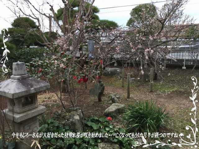 じろー枝垂れ桜