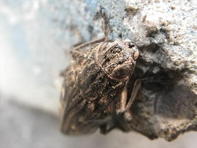 姥玉虫(ウバタマムシ)-1