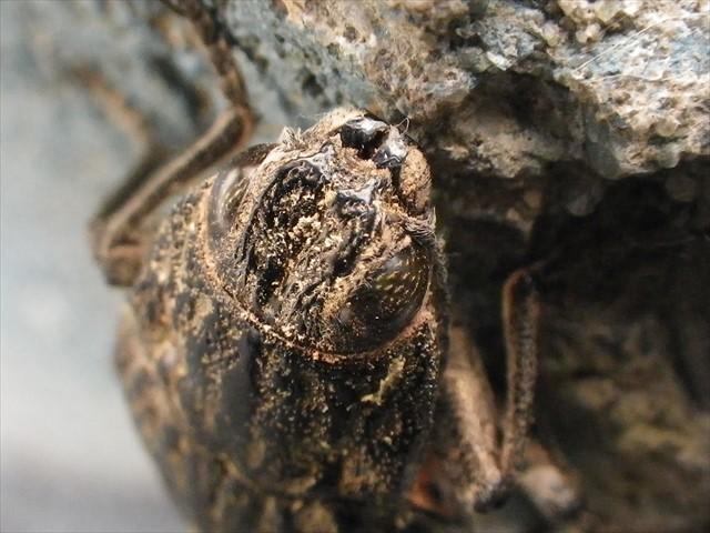 姥玉虫(ウバタマムシ)-2