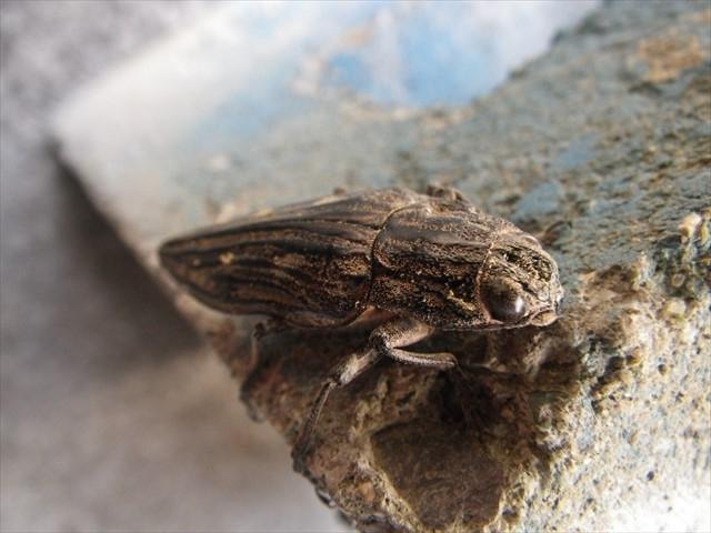 姥玉虫(ウバタマムシ)-6