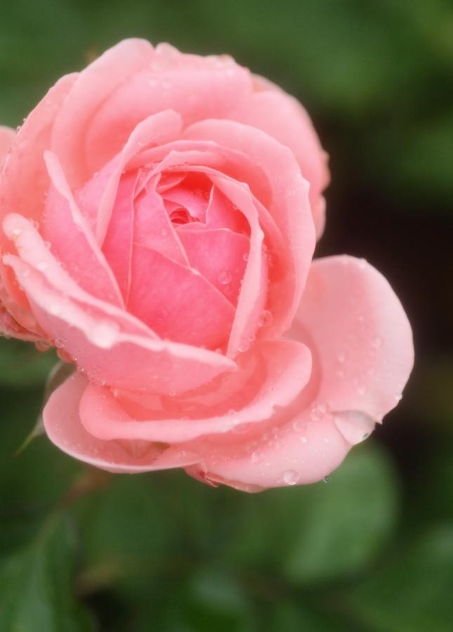 Rosa'Kimono'
