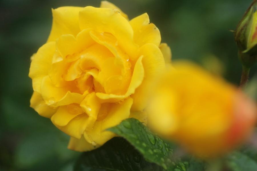 Rosa Goldmarie '84