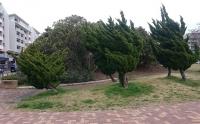 強風で傾いたベイタウンの木