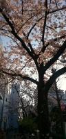 マリンピア前の桜