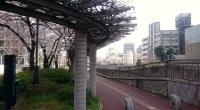 都川沿いの桜