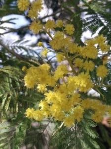 mimosa P_20180317_113210 (4)