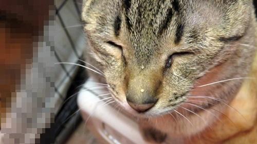 鼻に水滴の付いた猫