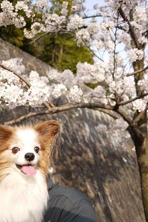 2018桜とココア