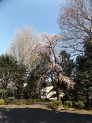 20180325_ICU桜6