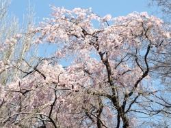 20180325_ICU桜7