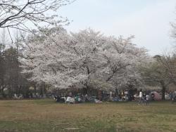 20180327井の頭公園桜1