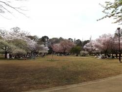 20180327井の頭公園桜2