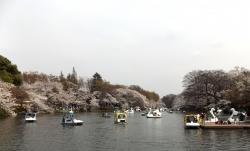 20180327井の頭公園桜7