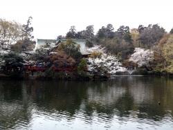 20180327井の頭公園桜4