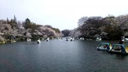 20180327井の頭公園桜7a