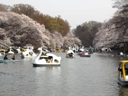 20180327井の頭公園桜8