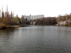 20180327井の頭公園桜10