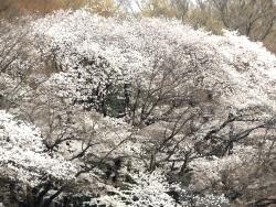 20180327井の頭公園桜9