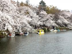 20180327井の頭公園桜11