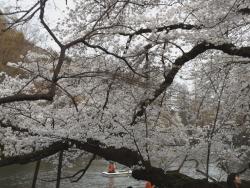 20180327井の頭公園桜22