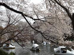 20180327井の頭公園桜12