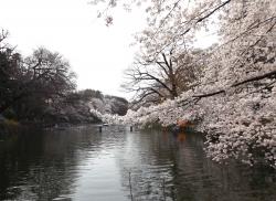 20180327井の頭公園桜17